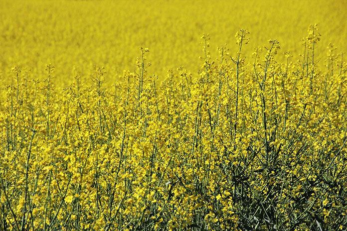 Środki ochrony roślin są niezbędne dla wystarczającej ilości plonów